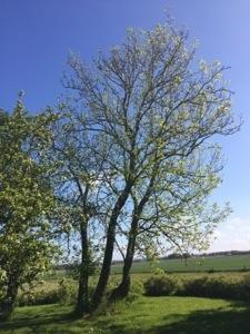 Elmetræerne er sprunget ud i St. bededagsferien