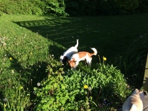 Vi passede også naboens hanhund i St. bededagsferien