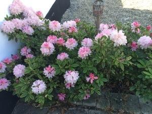 Lidt længere ude i gården, står mine rhododendron og pynter med deres smukke blomster
