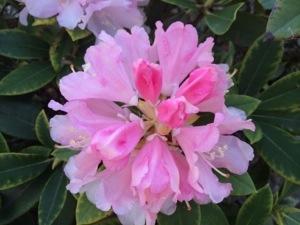 Lidt længere ude i gården, mellem gårdsplads og terrassen, står mine rhododendron og pynter med deres smukke blomster