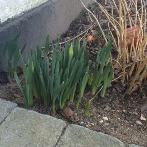 Det varer ikke længe inden de første påskeliljer springer ud
