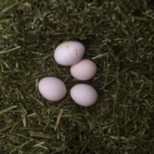 Lidt æg i lucernen (hestenes mad) Den næste høne står på spring for også at lægge æg..
