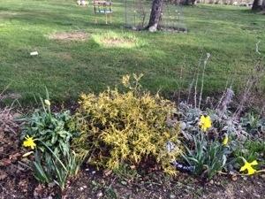 Store påskeliljer i haven