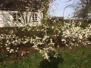 Mirabelletræerne blomstrer i haven foran mit dejlige hus